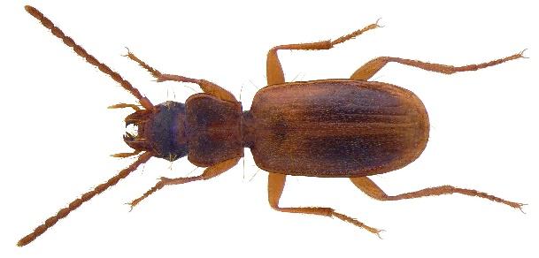 Trechoblemus