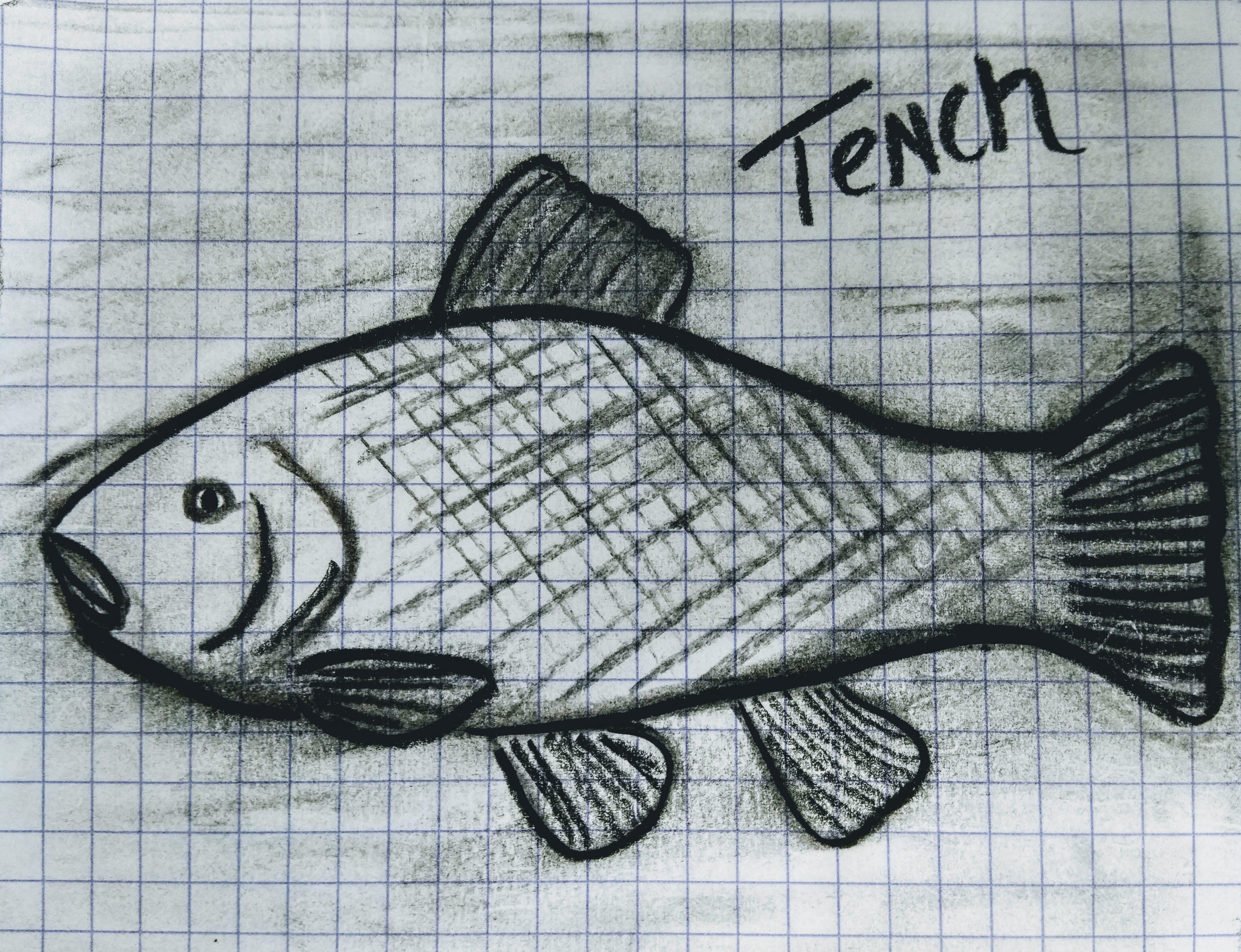 Tench pic