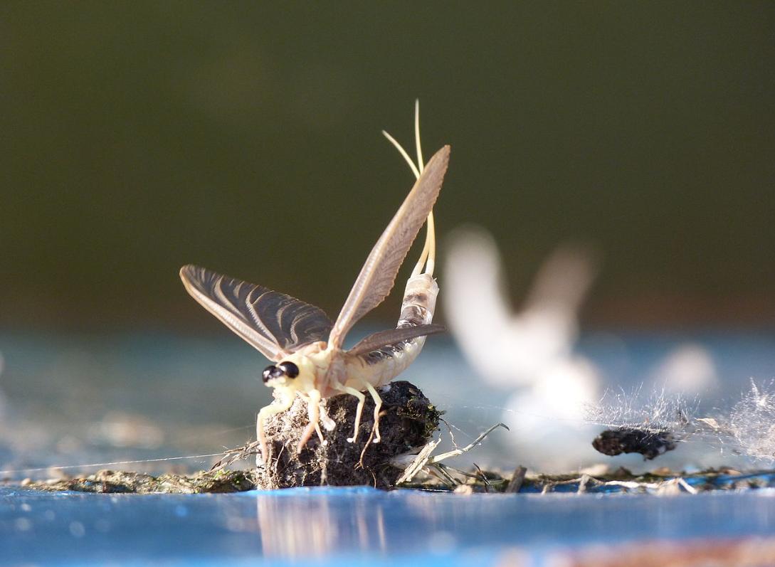 Hungarian mayfly